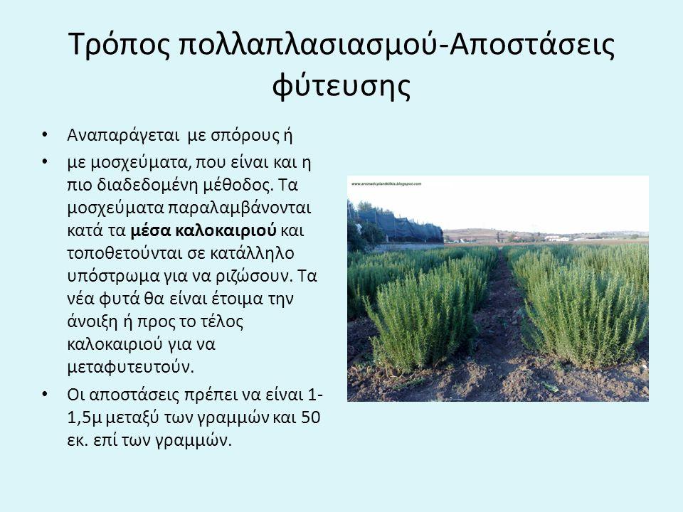 Τρόπος πολλαπλασιασμού-Αποστάσεις φύτευσης Αναπαράγεται με σπόρους ή με μοσχεύματα, που είναι και η πιο διαδεδομένη μέθοδος.