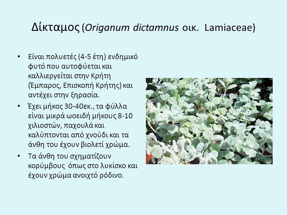 Δίκταμος (Origanum dictamnus οικ.