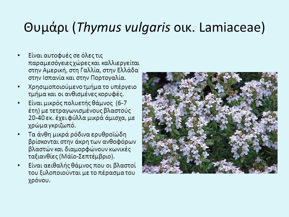Θυμάρι (Thymus vulgaris οικ.