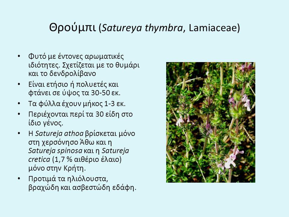 Θρούμπι (Satureya thymbra, Lamiaceae) Φυτό με έντονες αρωματικές ιδιότητες.