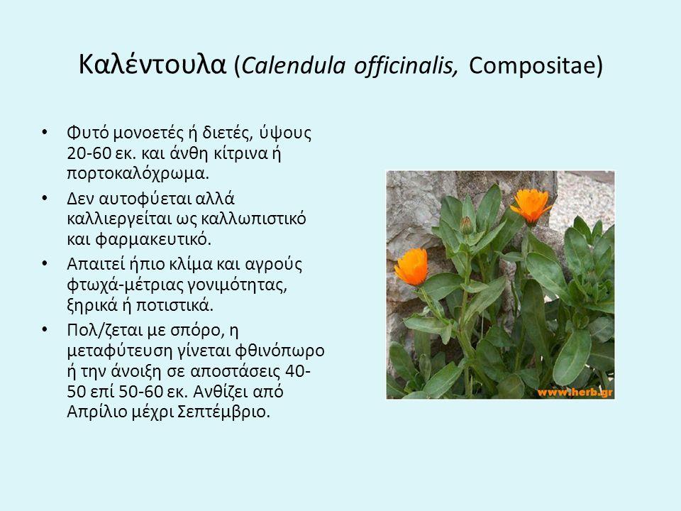 Καλέντουλα (Calendula officinalis, Compositae) Φυτό μονοετές ή διετές, ύψους 20-60 εκ.