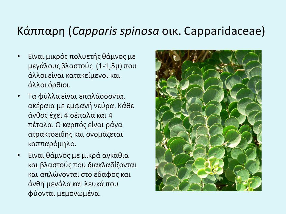 Kάππαρη (Capparis spinosa οικ.