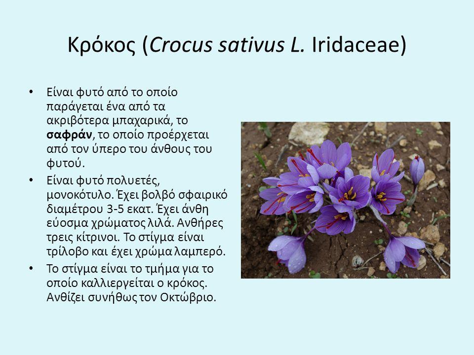 Κρόκος (Crocus sativus L.