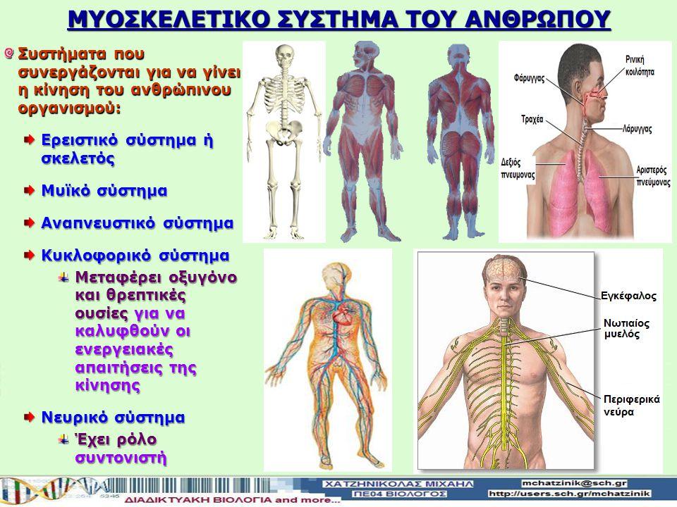 ΜΥΟΣΚΕΛΕΤΙΚΟ ΣΥΣΤΗΜΑ ΤΟΥ ΑΝΘΡΩΠΟΥ Συστήματα που συνεργάζονται για να γίνει η κίνηση του ανθρώπινου οργανισμού: Ερειστικό σύστημα ή σκελετός Μυϊκό σύστημα Αναπνευστικό σύστημα Κυκλοφορικό σύστημα Μεταφέρει οξυγόνο και θρεπτικές ουσίες για να καλυφθούν οι ενεργειακές απαιτήσεις της κίνησης Νευρικό σύστημα Έχει ρόλο συντονιστή