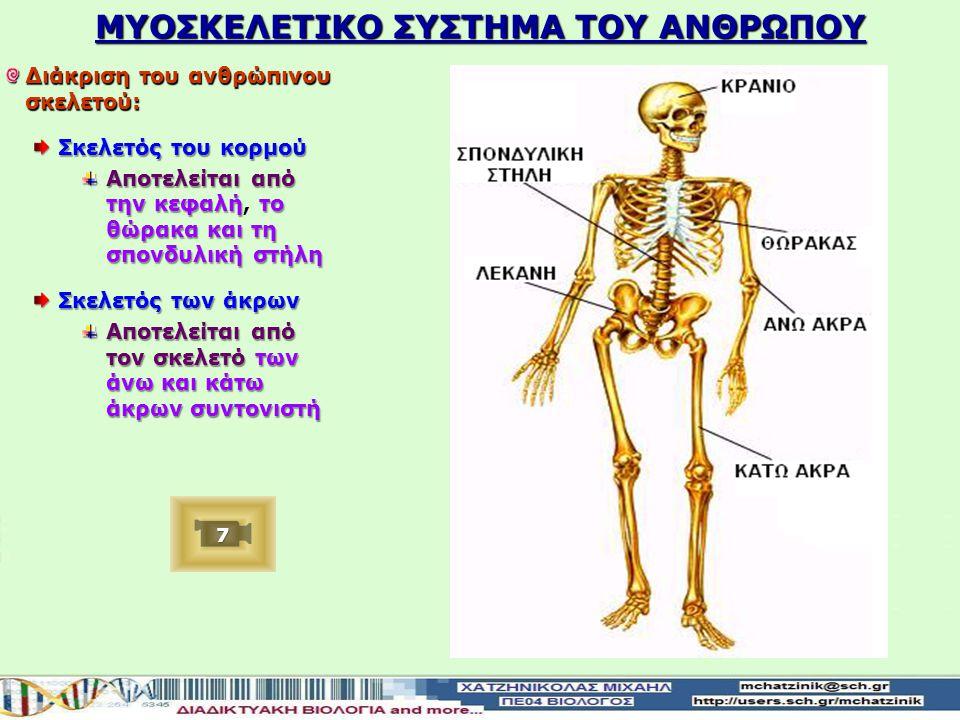 ΜΥΟΣΚΕΛΕΤΙΚΟ ΣΥΣΤΗΜΑ ΤΟΥ ΑΝΘΡΩΠΟΥ Διάκριση του ανθρώπινου σκελετού: Σκελετός του κορμού Αποτελείται από την κεφαλή το θώρακα και τη σπονδυλική στήλη Αποτελείται από την κεφαλή, το θώρακα και τη σπονδυλική στήλη Σκελετός των άκρων Αποτελείται από τον σκελετό των άνω και κάτω άκρων συντονιστή 7777