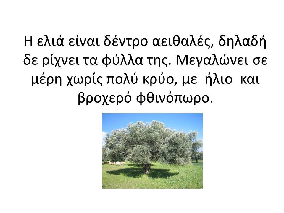 Η ελιά είναι δέντρο αειθαλές, δηλαδή δε ρίχνει τα φύλλα της. Μεγαλώνει σε μέρη χωρίς πολύ κρύο, με ήλιο και βροχερό φθινόπωρο.
