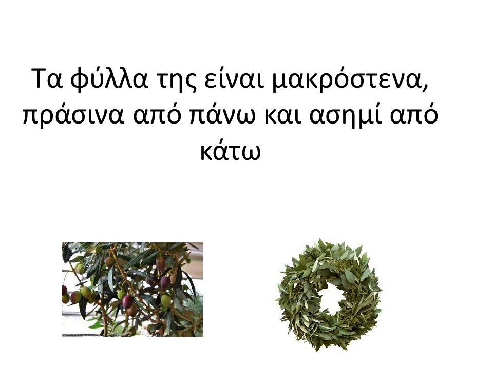 Ο καρπός είναι πράσινος στην αρχή και όταν ωριμάσει γίνεται καφέ, πράσινο, μαύρο…