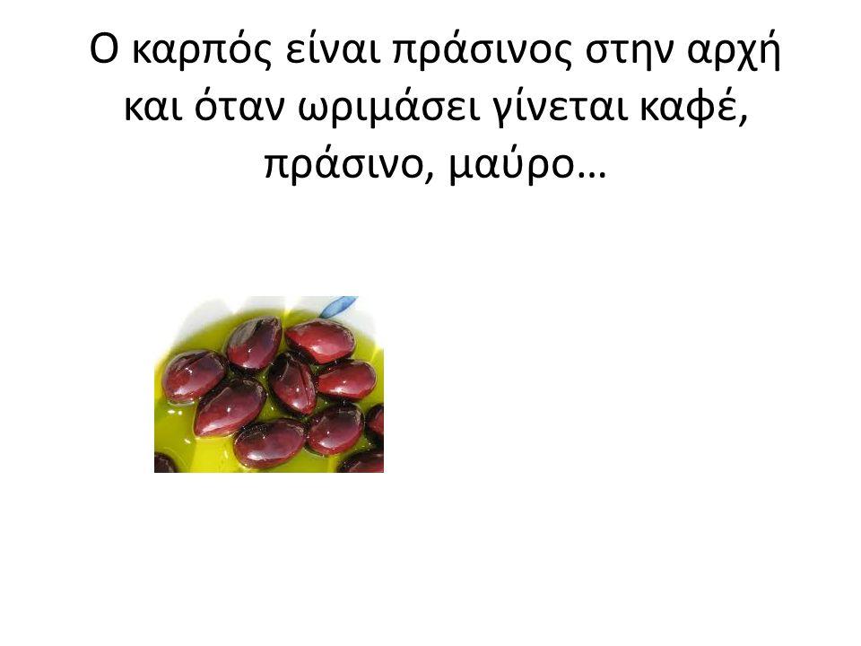 Το μάζεμα της ελιάς στα μέσα του φθινοπώρου.