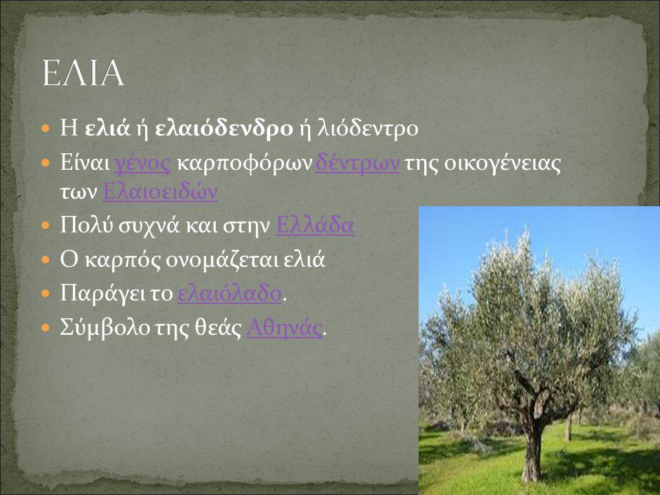 Η ελιά ή ελαιόδενδρο ή λιόδεντρο Είναι γένος καρποφόρων δέντρων της οικογένειας των ΕλαιοειδώνγένοςδέντρωνΕλαιοειδών Πολύ συχνά και στην ΕλλάδαΕλλάδα Ο καρπός ονομάζεται ελιά Παράγει το ελαιόλαδο.ελαιόλαδο Σύμβολο της θεάς Αθηνάς.Αθηνάς