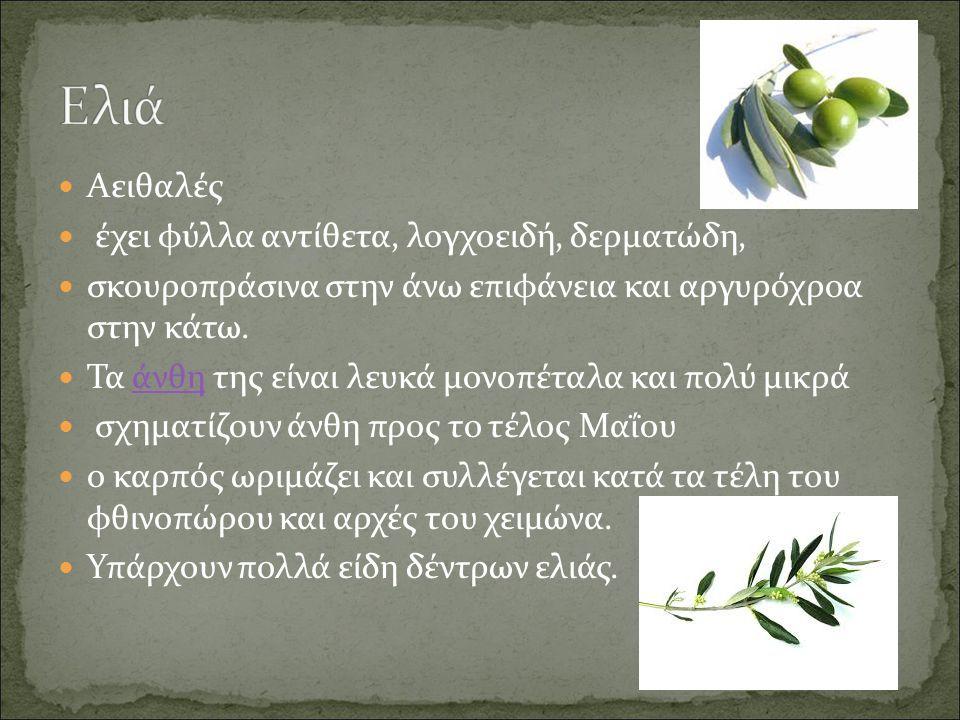 Αειθαλές έχει φύλλα αντίθετα, λογχοειδή, δερματώδη, σκουροπράσινα στην άνω επιφάνεια και αργυρόχροα στην κάτω.
