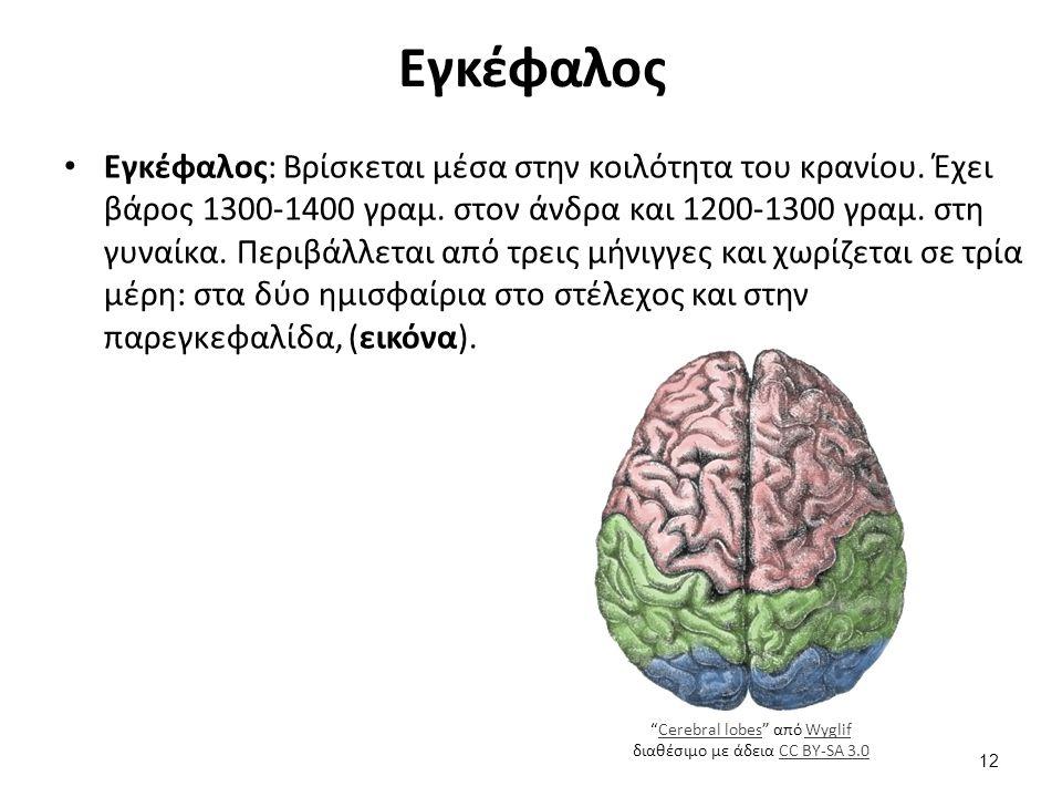 Εγκέφαλος Εγκέφαλος: Βρίσκεται μέσα στην κοιλότητα του κρανίου. Έχει βάρος 1300-1400 γραμ. στον άνδρα και 1200-1300 γραμ. στη γυναίκα. Περιβάλλεται απ