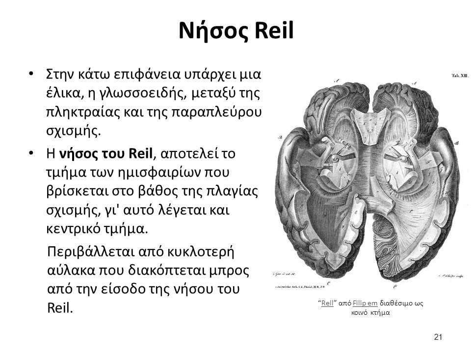 Στην κάτω επιφάνεια υπάρχει μια έλικα, η γλωσσοειδής, μεταξύ της πληκτραίας και της παραπλεύρου σχισμής. Η νήσος του Reil, αποτελεί το τμήμα των ημισφ