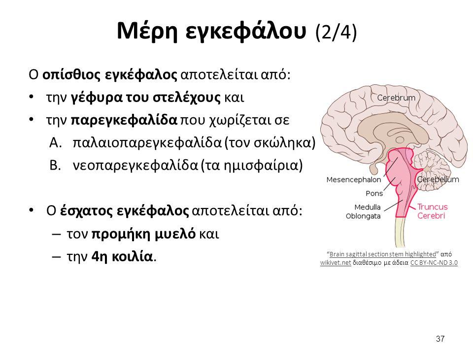 Μέρη εγκεφάλου (2/4) Ο οπίσθιος εγκέφαλος αποτελείται από: την γέφυρα του στελέχους και την παρεγκεφαλίδα που χωρίζεται σε A.παλαιοπαρεγκεφαλίδα (τον