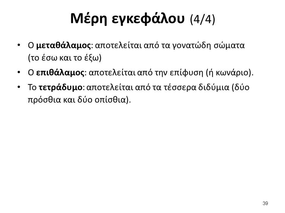 Μέρη εγκεφάλου (4/4) Ο μεταθάλαμος: αποτελείται από τα γονατώδη σώματα (το έσω και το έξω) Ο επιθάλαμος: αποτελείται από την επίφυση (ή κωνάριο). Το τ