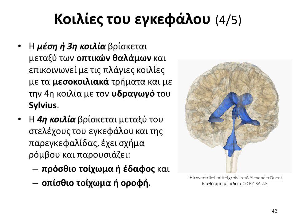 Κοιλίες του εγκεφάλου (4/5) Η μέση ή 3η κοιλία βρίσκεται μεταξύ των οπτικών θαλάμων και επικοινωνεί με τις πλάγιες κοιλίες με τα μεσοκοιλιακά τρήματα