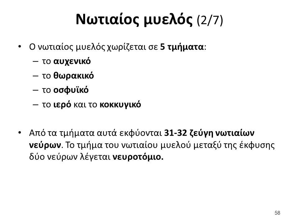 Νωτιαίος μυελός (2/7) Ο νωτιαίος μυελός χωρίζεται σε 5 τμήματα: – το αυχενικό – το θωρακικό – το οσφυϊκό – το ιερό και το κοκκυγικό Από τα τμήματα αυτ