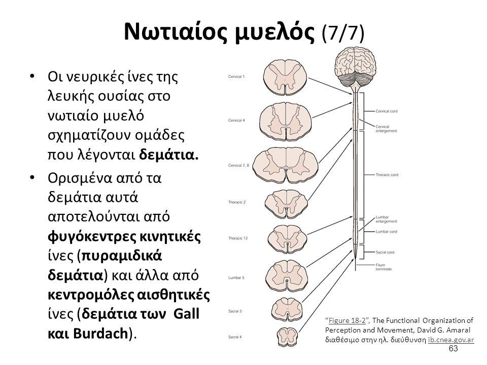 Νωτιαίος μυελός (7/7) Οι νευρικές ίνες της λευκής ουσίας στο νωτιαίο μυελό σχηματίζουν ομάδες που λέγονται δεμάτια. Ορισμένα από τα δεμάτια αυτά αποτε