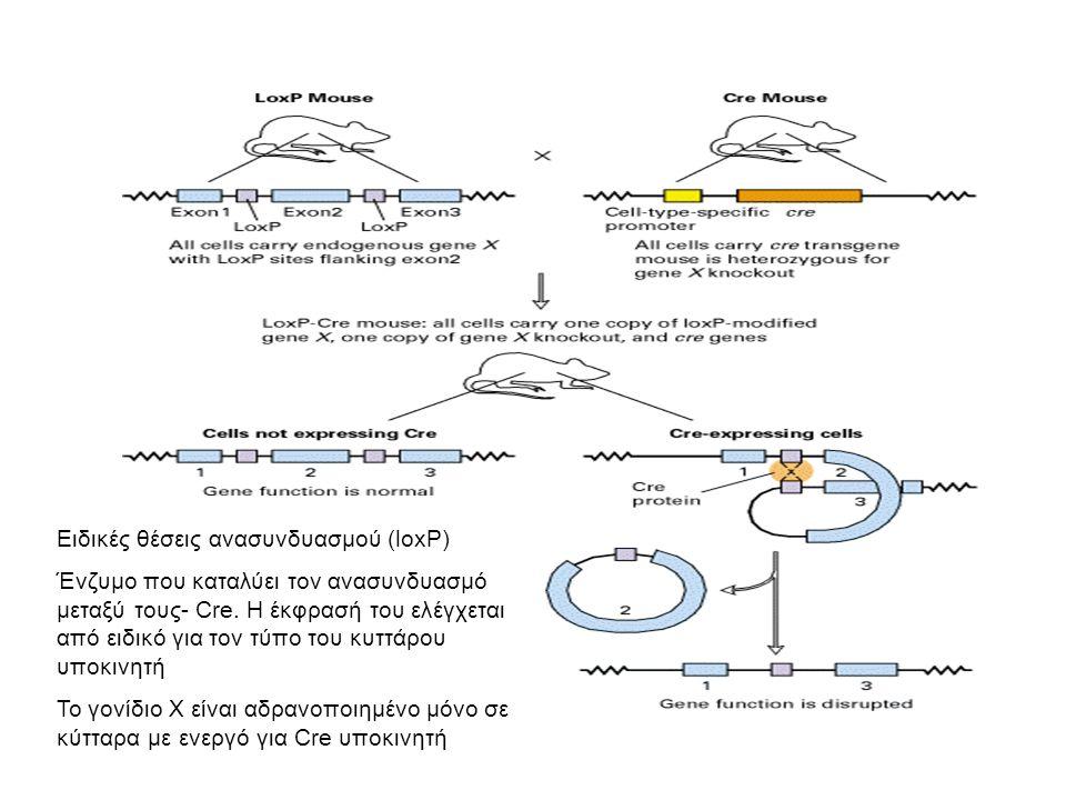 Σύνδρομο DiGeorge/Del 22q11(3Μb) Δημιουργία ποντικού μοντέλου Παρασκευάστηκαν κύτταρα ES ποντικού με θέσεις loxP εκατέρωθεν της γενωμικής περιοχής της ομόλογης με την περιοχή 22q11 του ανθρώπου.