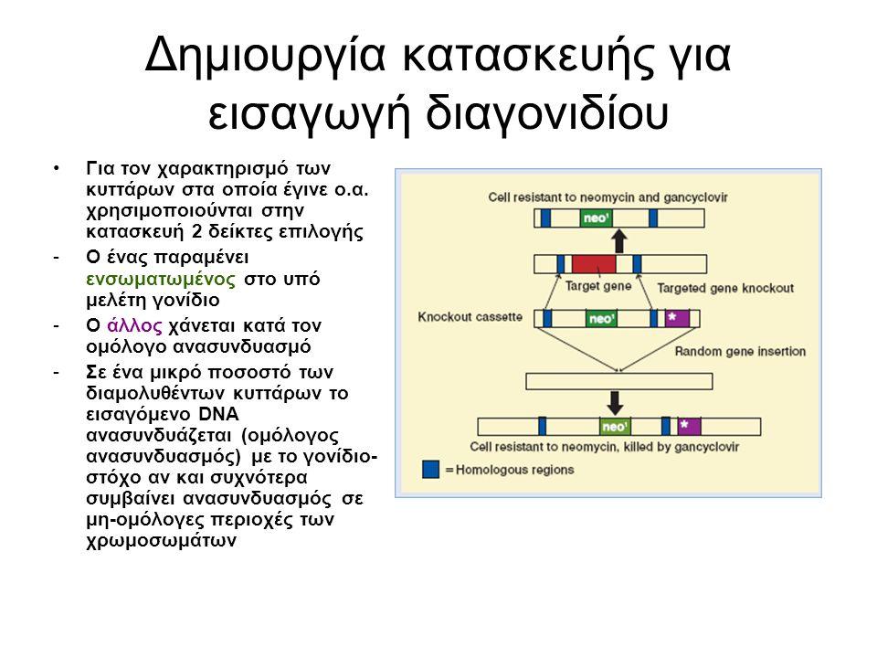 Δημιουργία κατασκευής για εισαγωγή διαγονιδίου Επιλογή: χρησιμοποιούνται στην κατασκευή 2 γονίδια-δείκτες, ένα μέσα στο γονίδιο-στόχο και ένα έξω από την αλληλουχία του γονιδίου στόχου Δημιουργία εκμηδενιστικού αλληλομόρφου(null allele): γονίδιο- δείκτης ενσωματώνεται σε ένα από τα εξόνια, διακόπτει την έκφραση του γονιδίου Σε μικρό ποσοστό των διαμολυθέντων κυττάρων έχουμε ομόλογο ανασυνδυασμό και εισαγωγή του γονιδίου-στόχου neo: ανθεκτικότητα σε G-418 ευαισθησία σε ganciclovir Μόνο τα βλαστικά κύτταρα με ομόλογο ανασυνδυασμό επιβιώνουν παρουσία και των δύο -Μόνο τα κύτταρα με ομόλογο ανασυνδυασμό επιβιώνουν παρουσία G-418 και ganciclovir.