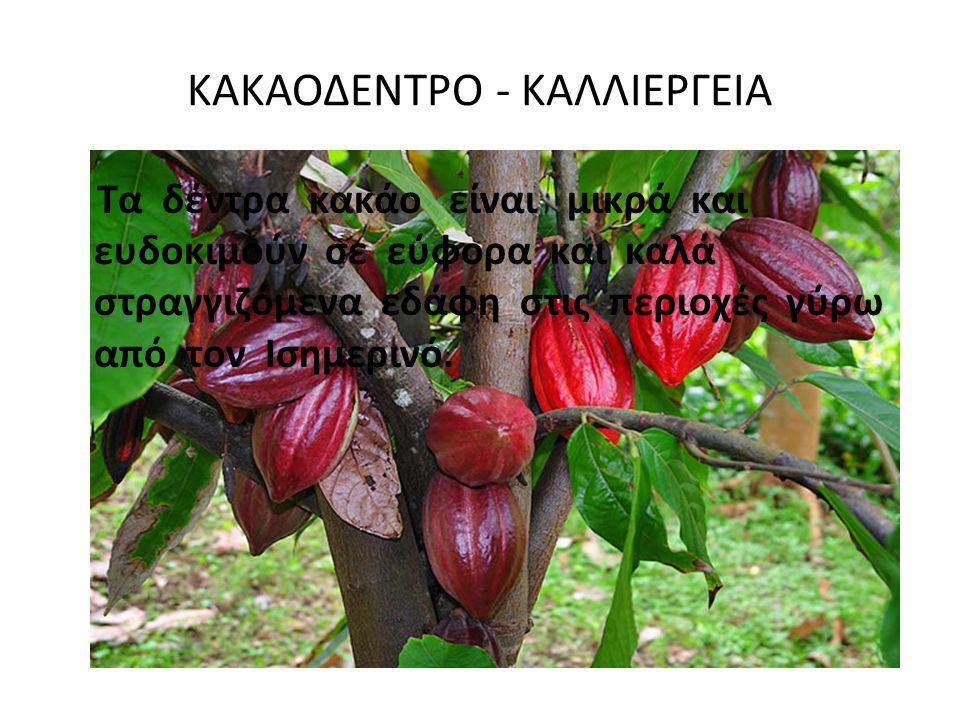 ΚΑΚΑΟΔΕΝΤΡΟ - ΚΑΛΛΙΕΡΓΕΙΑ Τα δέντρα κακάο είναι μικρά και ευδοκιμούν σε εύφορα και καλά στραγγιζόμενα εδάφη στις περιοχές γύρω από τον Ισημερινό.