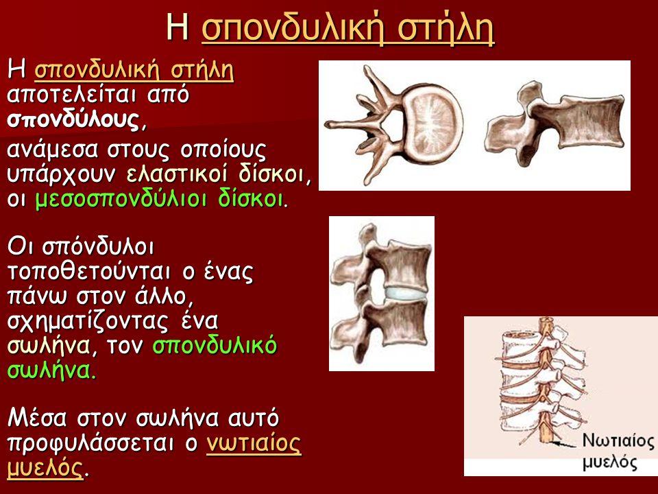 Η σπονδυλική στήλη σπονδυλική στήλησπονδυλική στήλη Η σπονδυλική στήλη αποτελείται από σπονδύλους, σπονδυλική στήλησπονδυλική στήλη ανάμεσα στους οποί