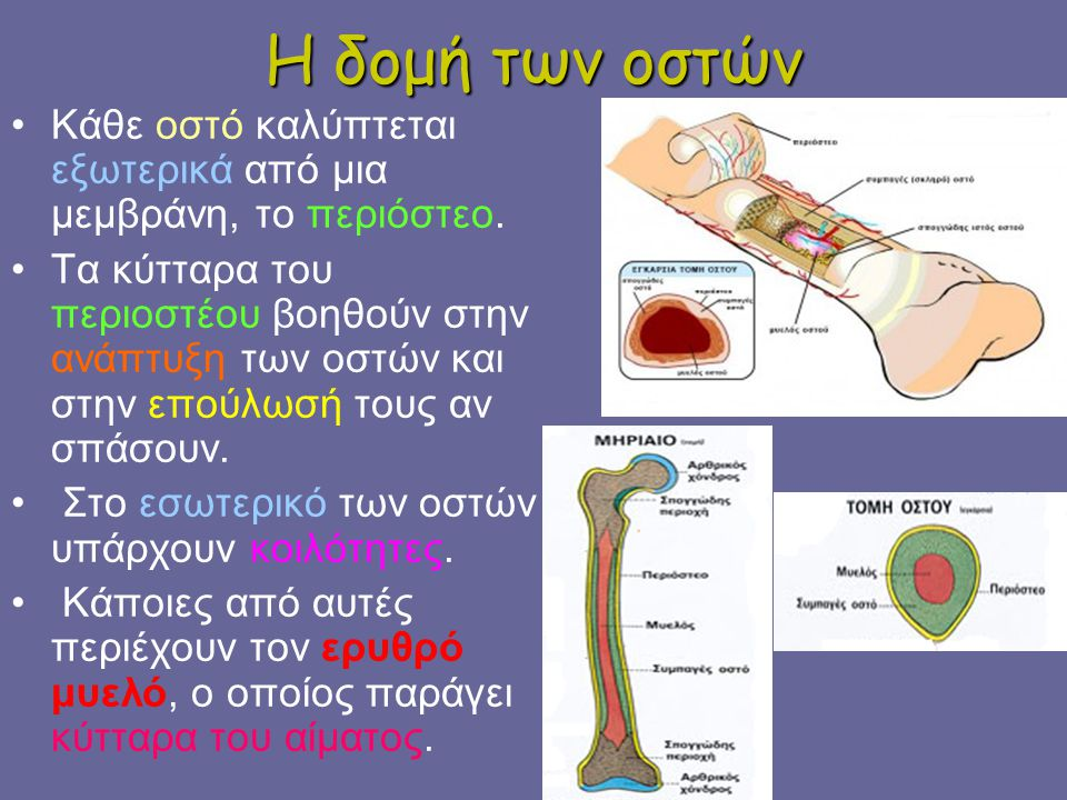 Η δομή των οστών Κάθε οστό καλύπτεται εξωτερικά από μια μεμβράνη, το περιόστεο. Τα κύτταρα του περιοστέου βοηθούν στην ανάπτυξη των οστών και στην επο