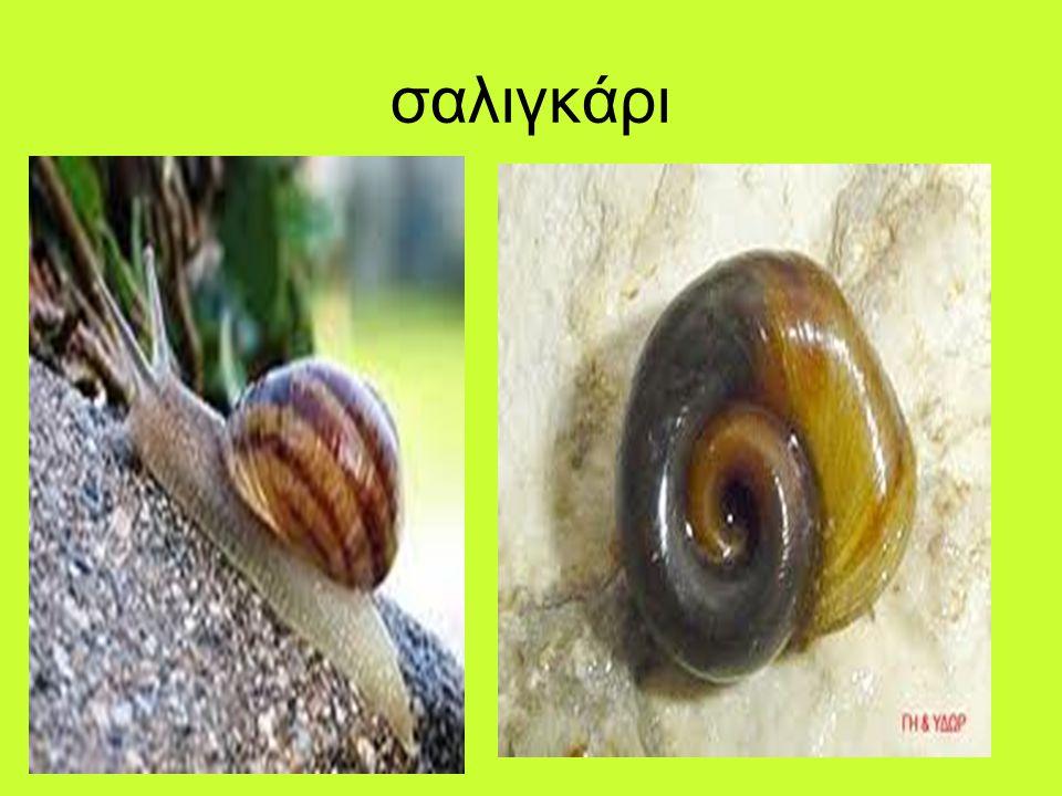 σαλιγκάρι