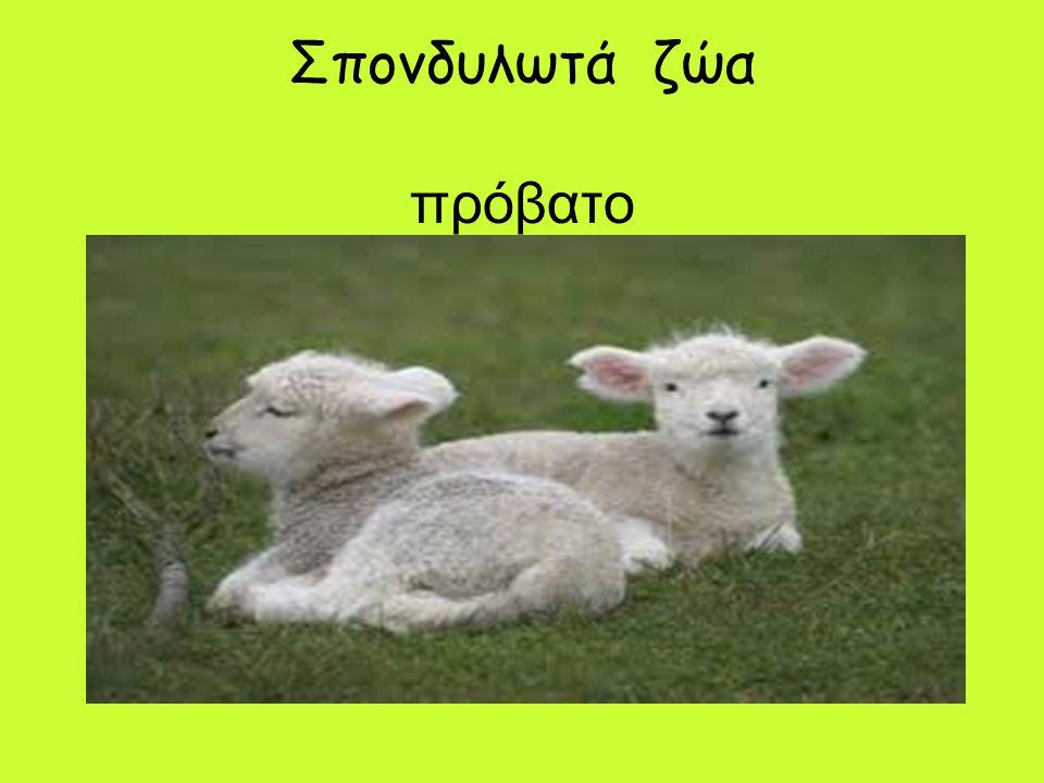 Σπονδυλωτά ζώα πρόβατο