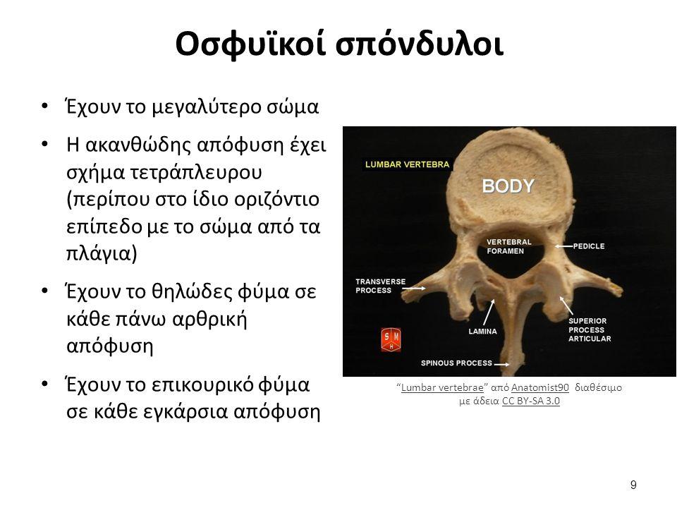 Έχουν το μεγαλύτερο σώμα Η ακανθώδης απόφυση έχει σχήμα τετράπλευρου (περίπου στο ίδιο οριζόντιο επίπεδο με το σώμα από τα πλάγια) Έχουν το θηλώδες φύ