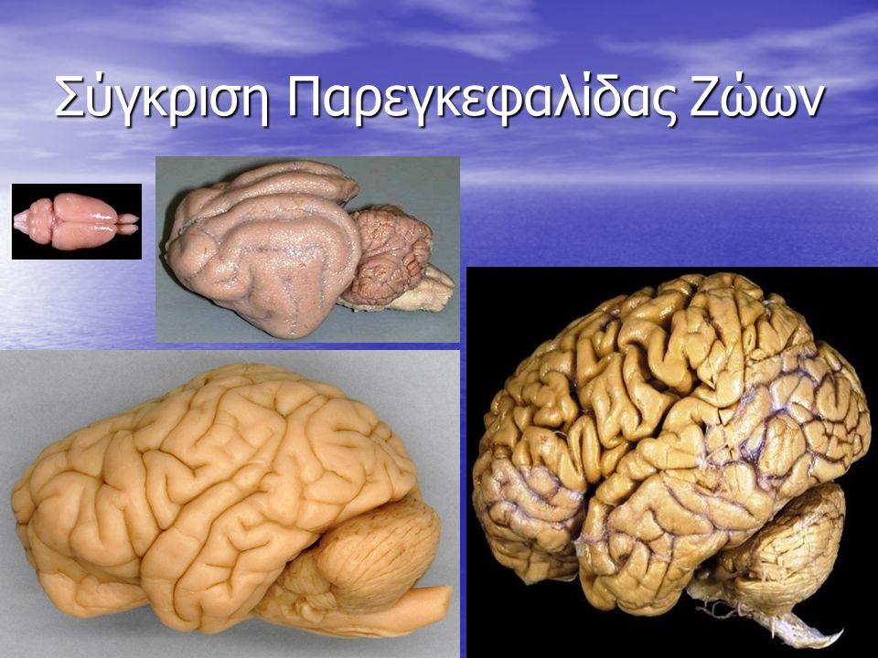 Σύγκριση Παρεγκεφαλίδας Ζώων 23
