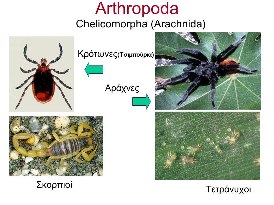 Arthropoda Chelicomorpha (Αrachnida) Κρότωνες (Τσιμπούρια) Σκορπιοί Αράχνες Τετράνυχοι