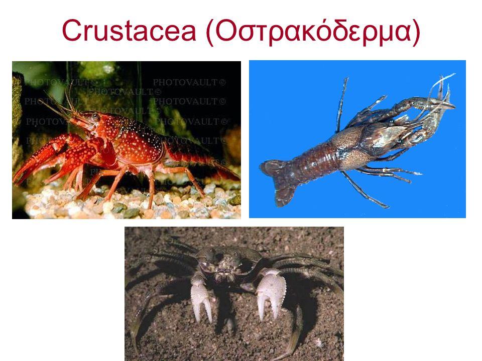 Crustacea (Οστρακόδερμα)
