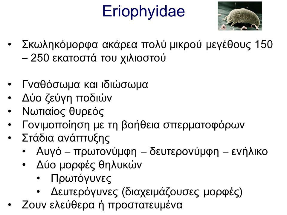 Eriophyidae Σκωληκόμορφα ακάρεα πολύ μικρού μεγέθους 150 – 250 εκατοστά του χιλιοστού Γναθόσωμα και ιδιώσωμα Δύο ζεύγη ποδιών Νωτιαίος θυρεός Γονιμοπο