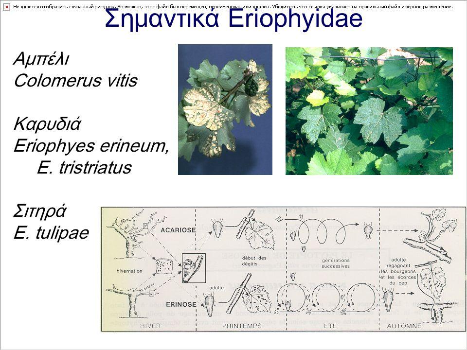 Σημαντικά Eriophyidae Αμπέλι Colomerus vitis Καρυδιά Eriophyes erineum, E. tristriatus Σιτηρά E. tulipae