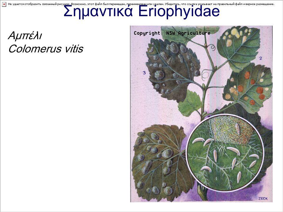 Σημαντικά Eriophyidae Αμπέλι Colomerus vitis