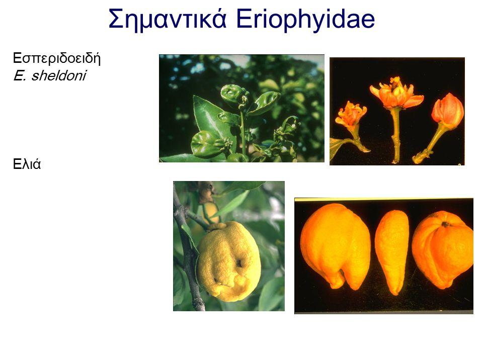 Σημαντικά Eriophyidae Εσπεριδοειδή E. sheldoni Ελιά