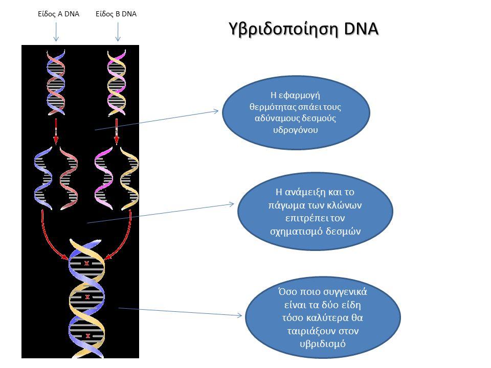 Είδος Α DNAΕίδος B DNA Η εφαρμογή θερμότητας σπάει τους αδύναμους δεσμούς υδρογόνου Η ανάμειξη και το πάγωμα των κλώνων επιτρέπει τον σχηματισμό δεσμών Όσο ποιο συγγενικά είναι τα δύο είδη τόσο καλύτερα θα ταιριάξουν στον υβριδισμό Υβριδοποίηση DNA