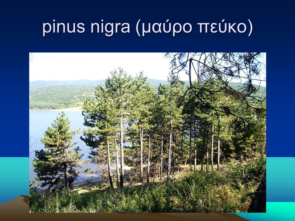 pinus nigra (μαύρο πεύκο)