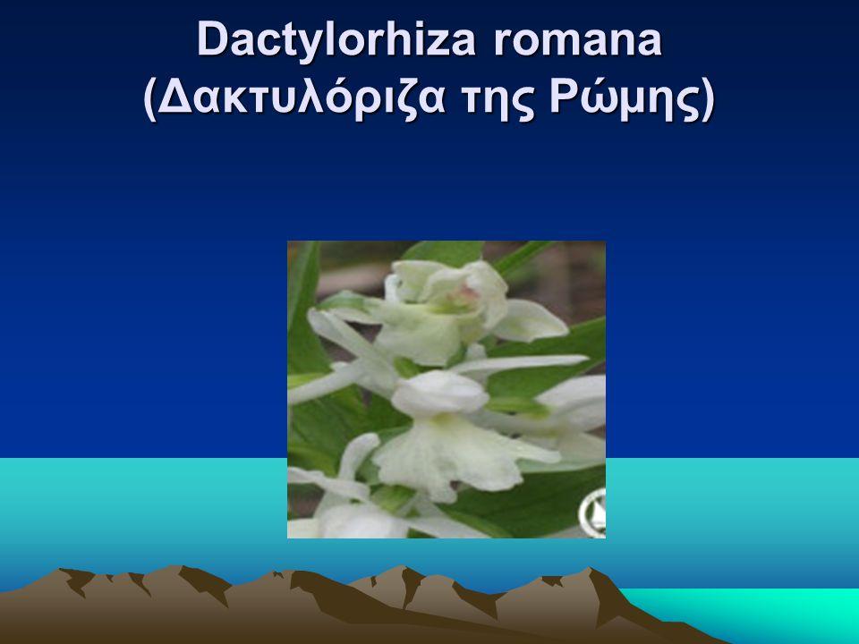 Dactylorhiza romana (Δακτυλόριζα της Ρώμης)