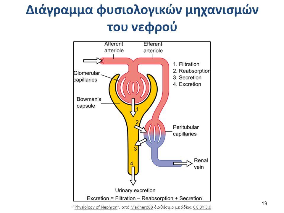 """Διάγραμμα φυσιολογικών μηχανισμών του νεφρού 19 """"Physiology of Nephron"""", από Madhero88 διαθέσιμο με άδεια CC BY 3.0Physiology of NephronMadhero88CC BY"""