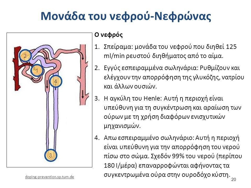 Μονάδα του νεφρού-Νεφρώνας 20 Ο νεφρός 1.Σπείραμα: μονάδα του νεφρού που διηθεί 125 ml/min ρευστού διηθήματος από το αίμα. 2.Εγγύς εσπειραμμένα σωληνά