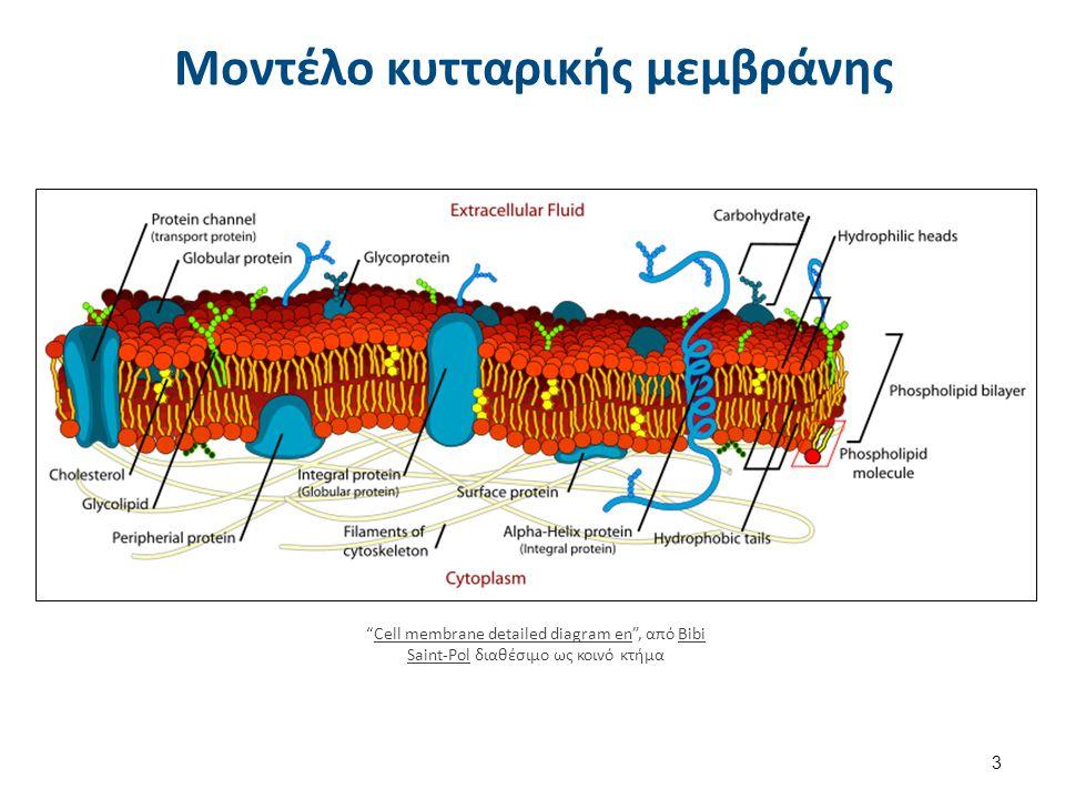 """Μοντέλο κυτταρικής μεμβράνης 3 """"Cell membrane detailed diagram en"""", από Bibi Saint-Pol διαθέσιμο ως κοινό κτήμαCell membrane detailed diagram enBibi S"""