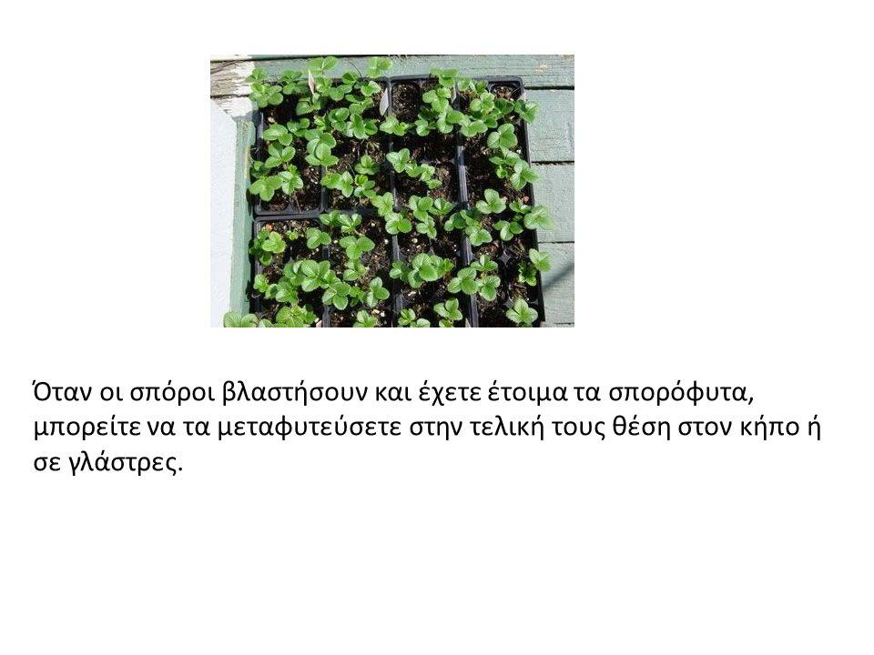 Όταν οι σπόροι βλαστήσουν και έχετε έτοιμα τα σπορόφυτα, μπορείτε να τα μεταφυτεύσετε στην τελική τους θέση στον κήπο ή σε γλάστρες.