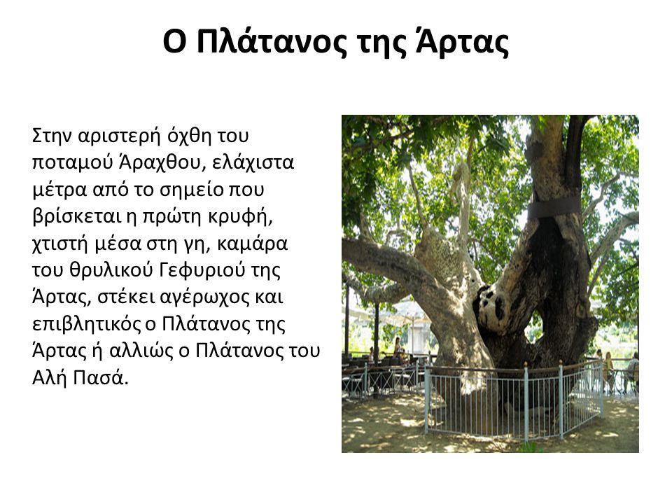 Ο Πλάτανος της Άρτας Στην αριστερή όχθη του ποταμού Άραχθου, ελάχιστα μέτρα από το σημείο που βρίσκεται η πρώτη κρυφή, χτιστή μέσα στη γη, καμάρα του θρυλικού Γεφυριού της Άρτας, στέκει αγέρωχος και επιβλητικός ο Πλάτανος της Άρτας ή αλλιώς ο Πλάτανος του Αλή Πασά.