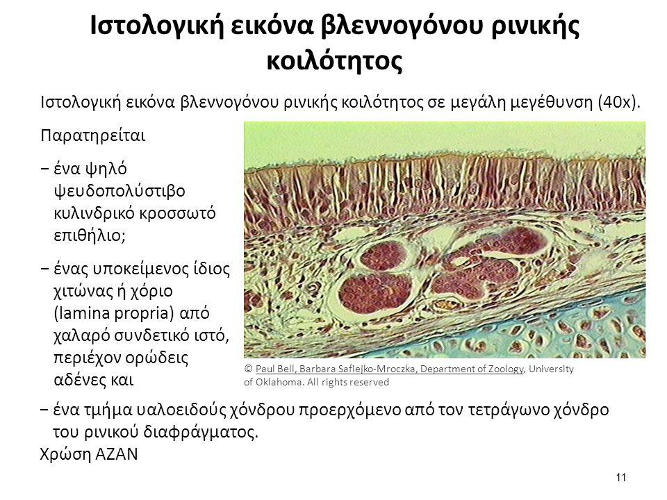 Ιστολογική εικόνα βλεννογόνου ρινικής κοιλότητος Ιστολογική εικόνα βλεννογόνου ρινικής κοιλότητος σε μεγάλη μεγέθυνση (40x).
