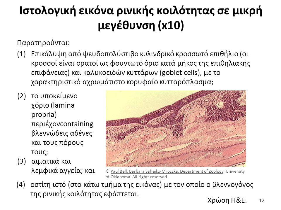 Ιστολογική εικόνα ρινικής κοιλότητας σε μικρή μεγέθυνση (x10) Παρατηρούνται: (1)Επικάλυψη από ψευδοπολύστιβο κυλινδρικό κροσσωτό επιθήλιο (οι κροσσοί είναι ορατοί ως φουντωτό όριο κατά μήκος της επιθηλιακής επιφάνειας) και καλυκοειδών κυττάρων (goblet cells), με το χαρακτηριστικό αχρωμάτιστο κορυφαίο κυτταρόπλασμα; (2)το υποκείμενο χόριο (lamina propria) περιέχονcontaining βλεννώδεις αδένες και τους πόρους τους; (3)αιματικά και λεμφικά αγγεία; και Χρώση H&E.