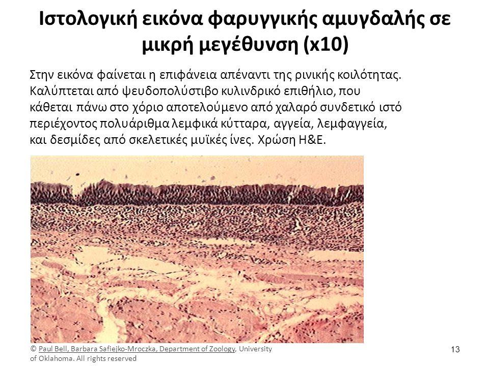 Ιστολογική εικόνα φαρυγγικής αμυγδαλής σε μικρή μεγέθυνση (x10) Στην εικόνα φαίνεται η επιφάνεια απέναντι της ρινικής κοιλότητας.