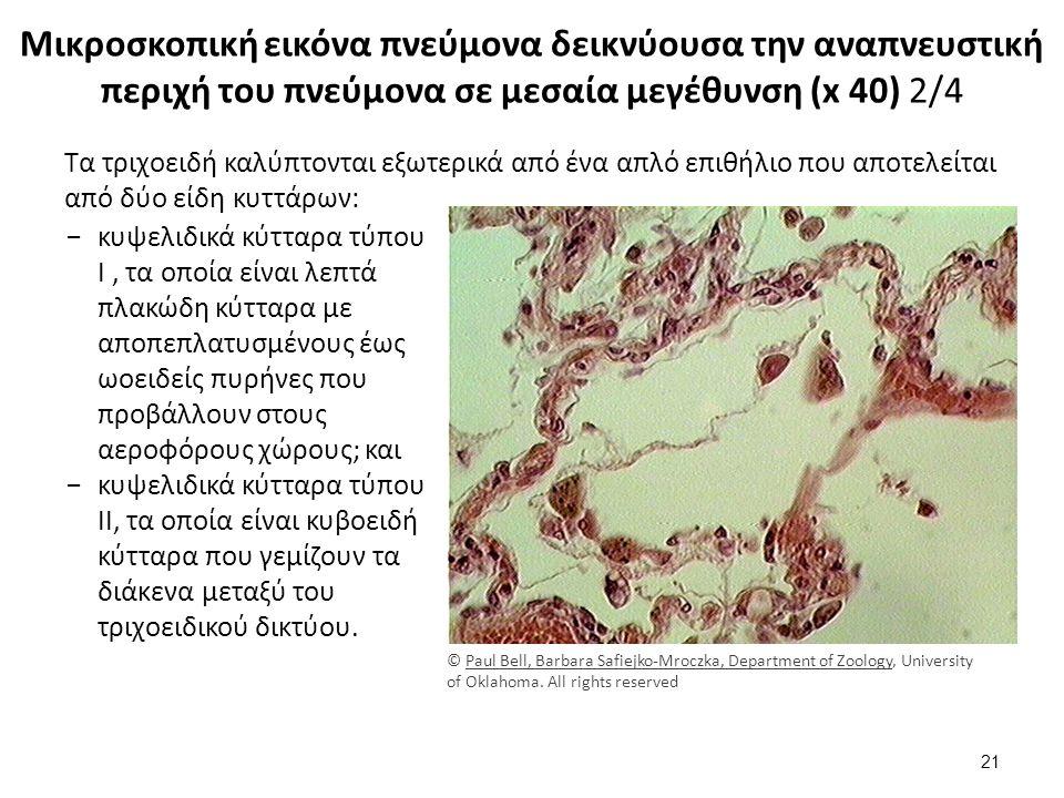 Μικροσκοπική εικόνα πνεύμονα δεικνύουσα την αναπνευστική περιχή του πνεύμονα σε μεσαία μεγέθυνση (x 40) 2/4 Τα τριχοειδή καλύπτονται εξωτερικά από ένα απλό επιθήλιο που αποτελείται από δύο είδη κυττάρων: −κυψελιδικά κύτταρα τύπου I, τα οποία είναι λεπτά πλακώδη κύτταρα με αποπεπλατυσμένους έως ωοειδείς πυρήνες που προβάλλουν στους αεροφόρους χώρους; και −κυψελιδικά κύτταρα τύπου II, τα οποία είναι κυβοειδή κύτταρα που γεμίζουν τα διάκενα μεταξύ του τριχοειδικού δικτύου.
