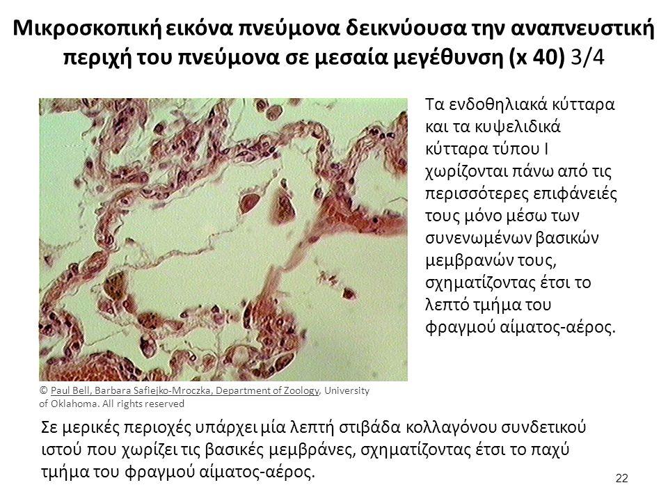 Μικροσκοπική εικόνα πνεύμονα δεικνύουσα την αναπνευστική περιχή του πνεύμονα σε μεσαία μεγέθυνση (x 40) 3/4 Τα ενδοθηλιακά κύτταρα και τα κυψελιδικά κύτταρα τύπου I χωρίζονται πάνω από τις περισσότερες επιφάνειές τους μόνο μέσω των συνενωμένων βασικών μεμβρανών τους, σχηματίζοντας έτσι το λεπτό τμήμα του φραγμού αίματος-αέρος.