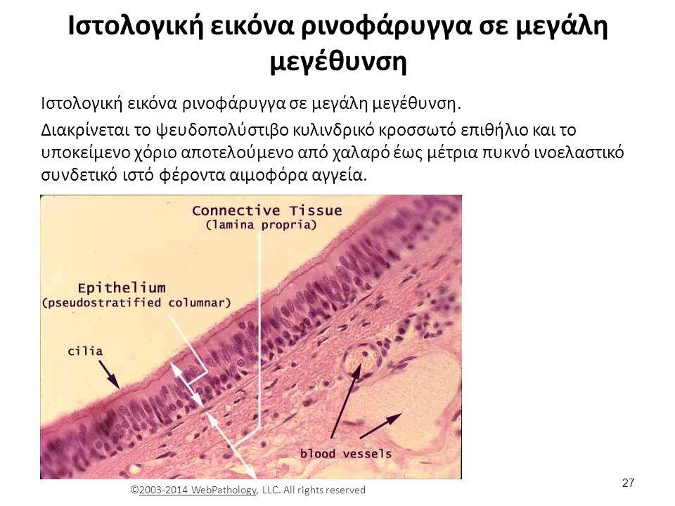 Ιστολογική εικόνα ρινοφάρυγγα σε μεγάλη μεγέθυνση Ιστολογική εικόνα ρινοφάρυγγα σε μεγάλη μεγέθυνση.